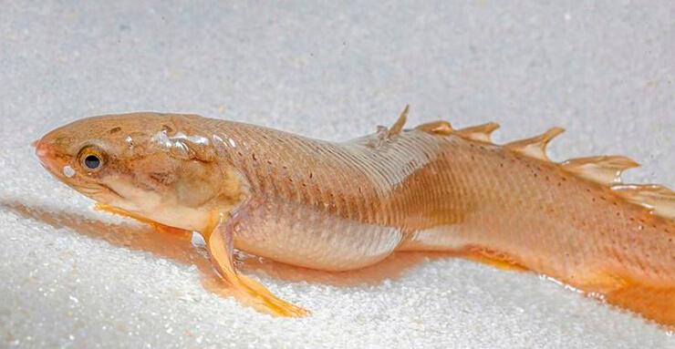 Изображение многопёра сенегальского