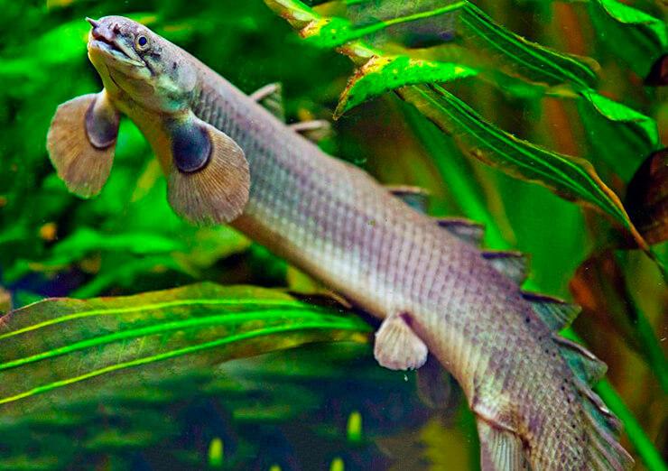 Многопёр сенегальский фото