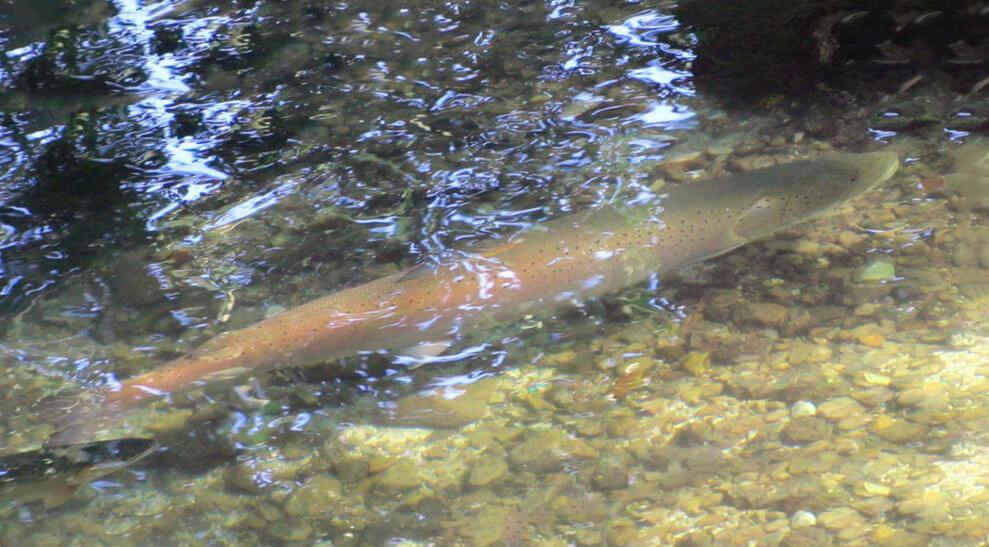 Нерест лосося дунайского