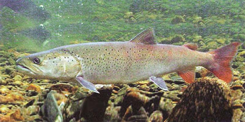 Одинокий лосось дунайский