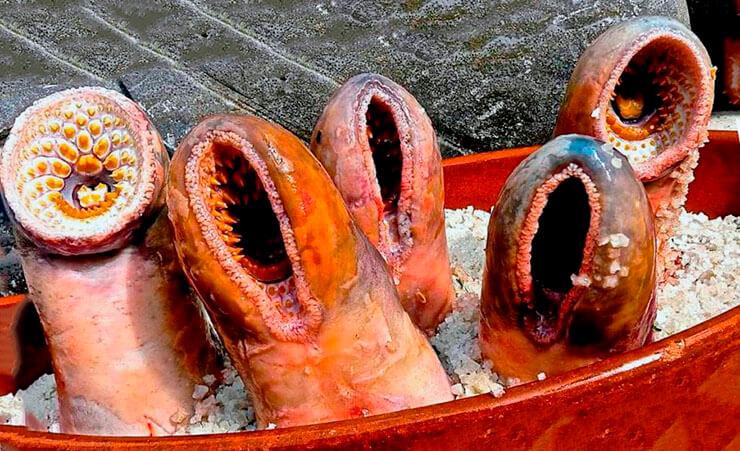 Минога морская в кулинарии