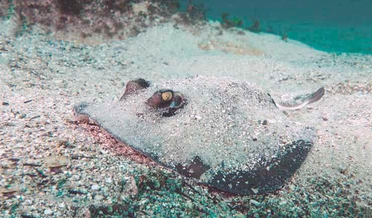 Погрузившийся в песок морской кот