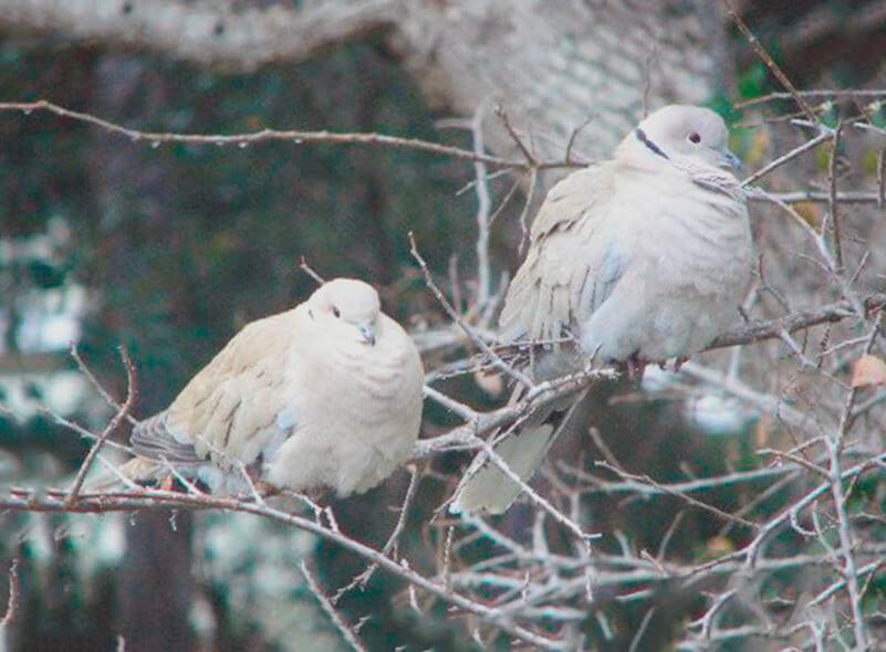 Пара горлиц кольчатых на дереве