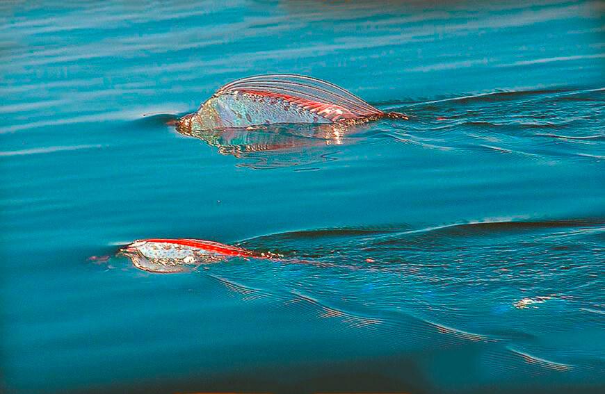Ремень-рыба фото