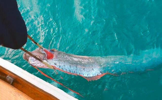 Изображение ремень-рыбы