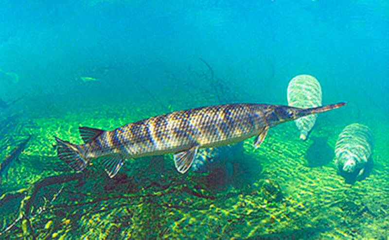 Подводная жизнь панцирника длиннорылого