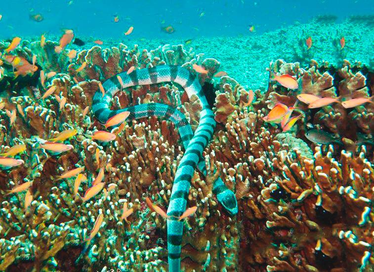 Плоскохвост кольчатый среди кораллов