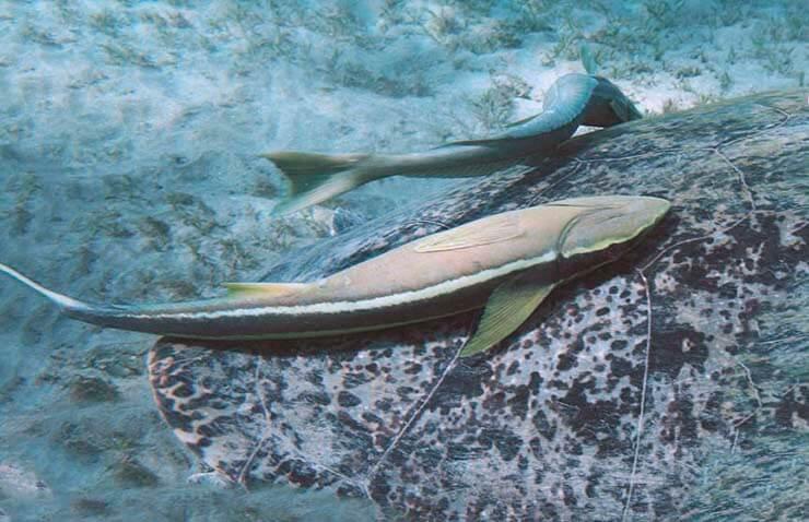 Прилипало обыкновенный путешествует на рыбе