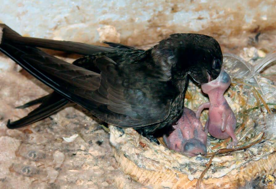 Гнездо черного стрижа