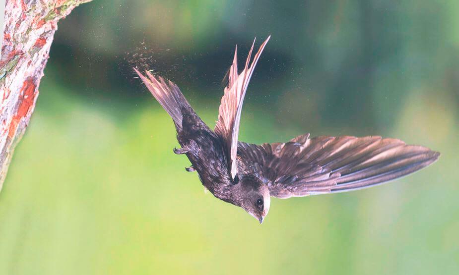Полёт чёрного стрижа
