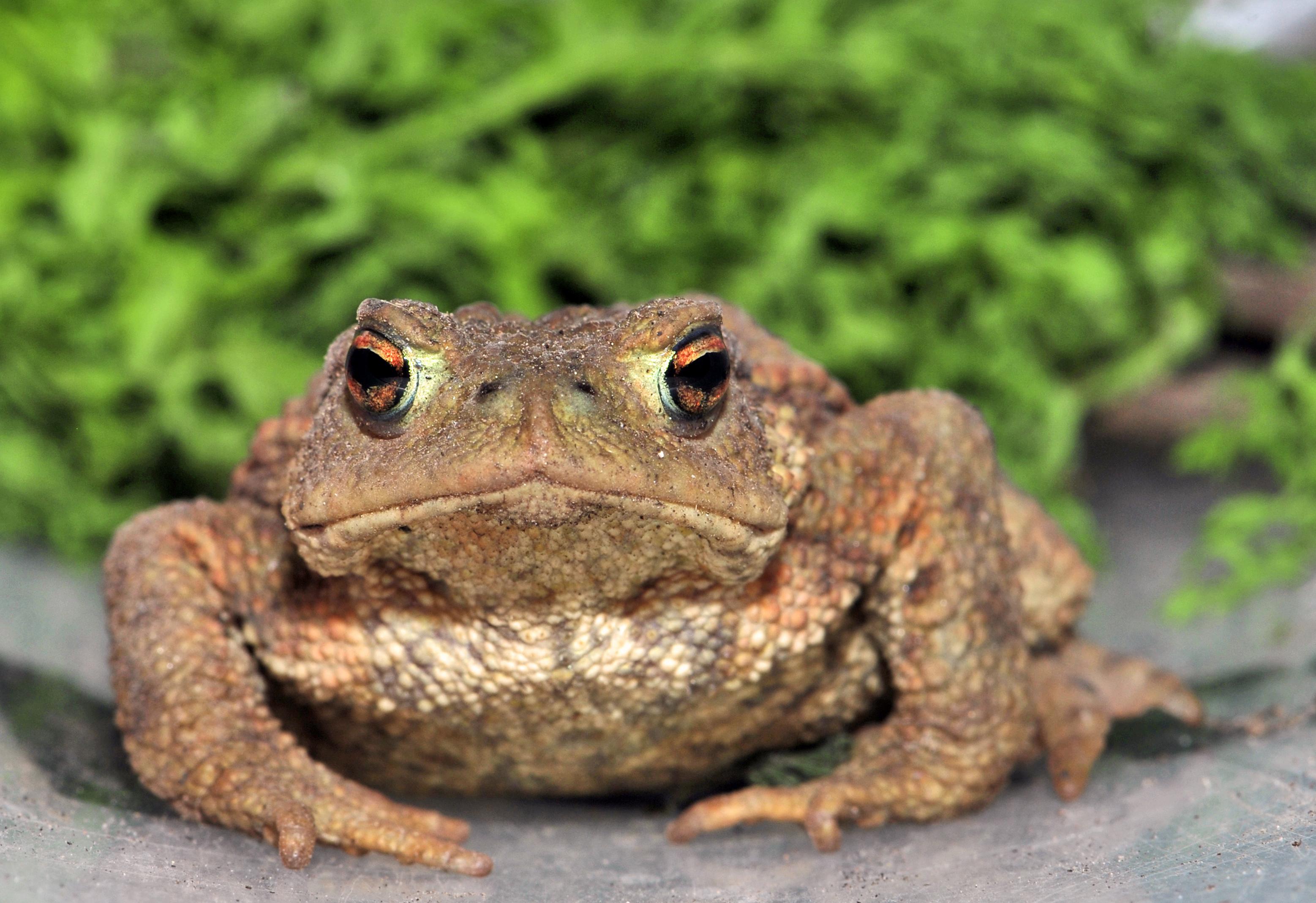 Малайская жаба (bufo melanostictus)