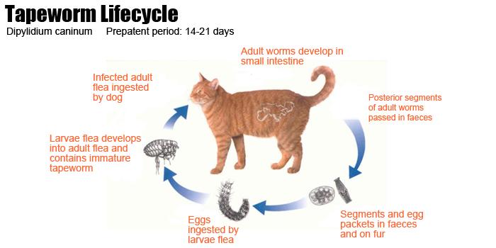 11 Ленточные черви у кошек