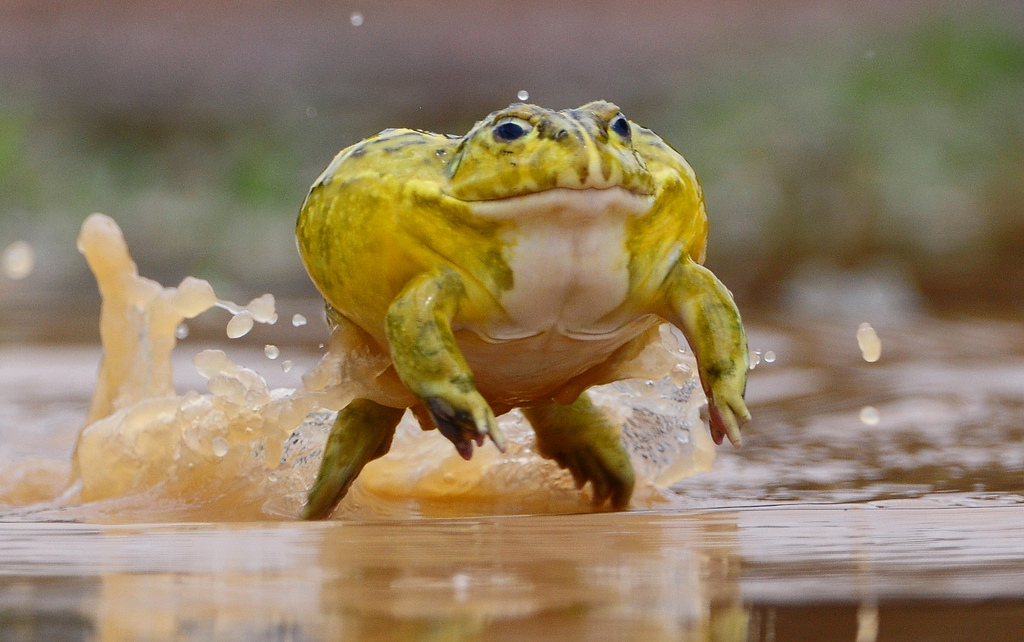 Goliath frog facts