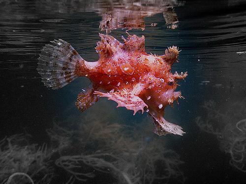 155 Клоун морской (саргассовый)