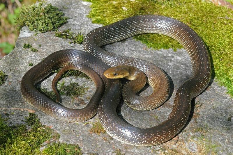 158 Змея эскулапова