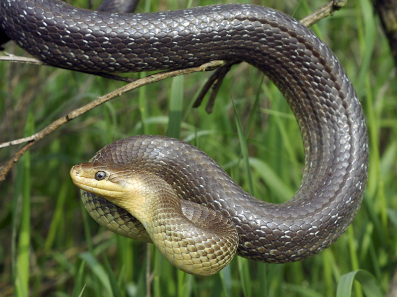 159 Змея эскулапова
