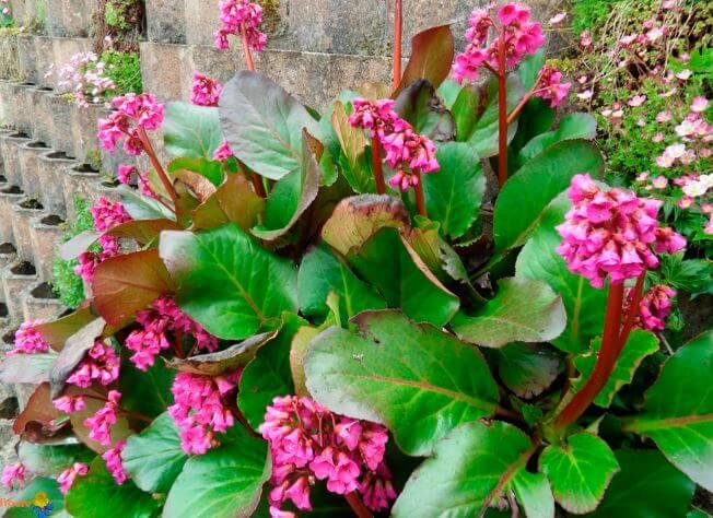 Незаменимый цветок для сада