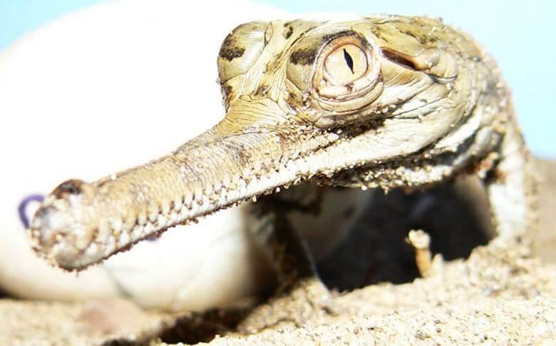 Маленький крокодильчик гавиала гангского