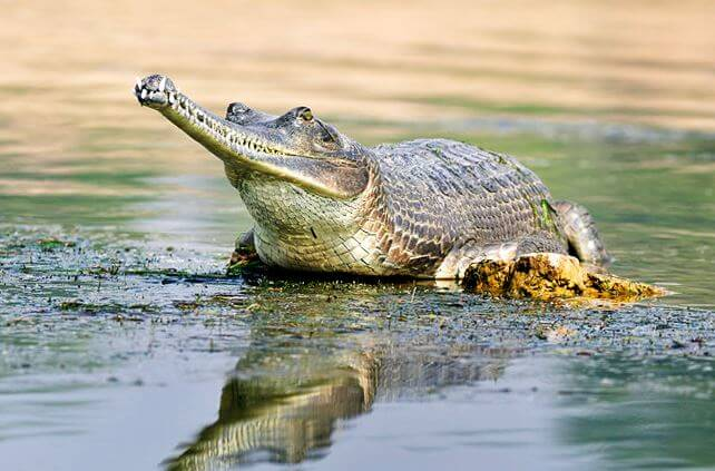 gavial gangskiy Гавиал гангский