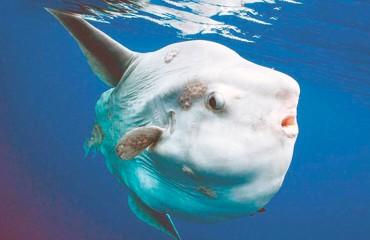 Луна-рыба обыкновенная