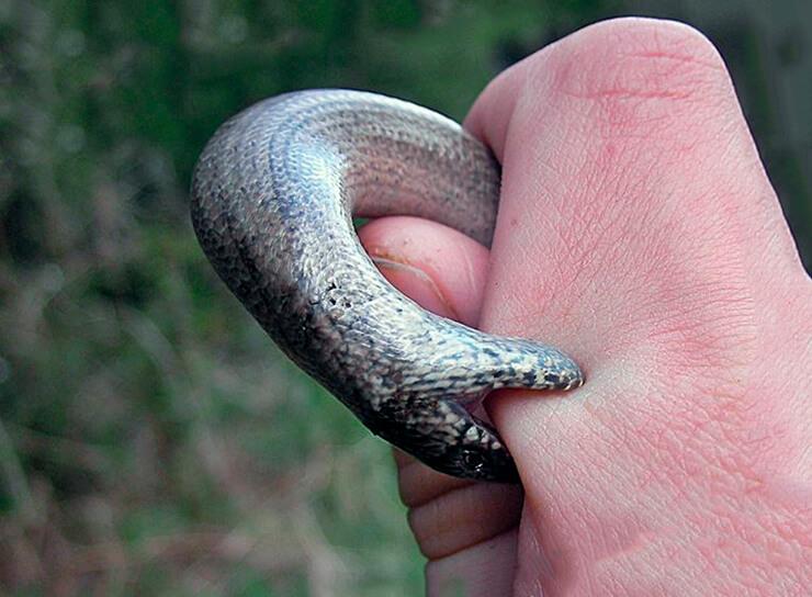 Ломкая веретеница кусает палец