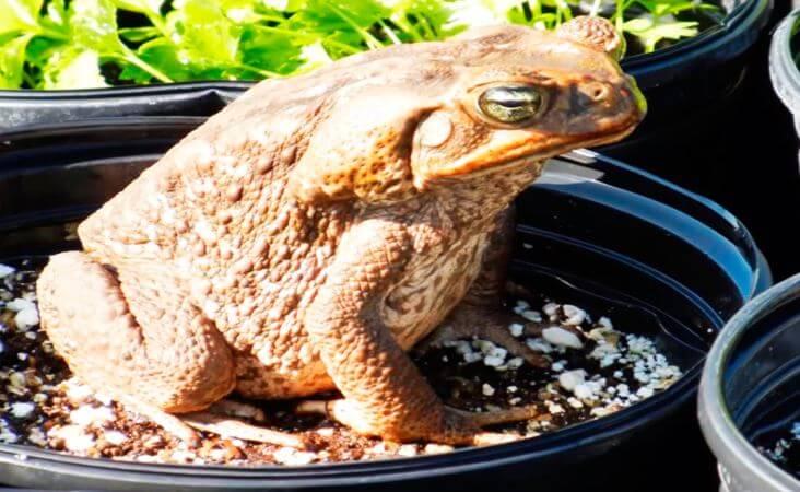 Вазон с лягушкой-голиаф
