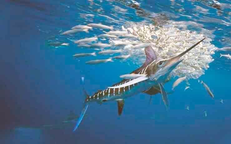Меч-рыба в косяке рыб