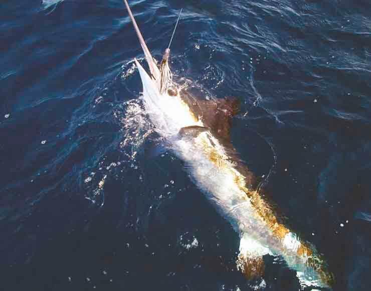 Картинка с меч-рыбой