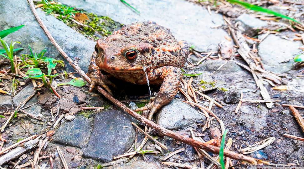 Прогулка серой жабы