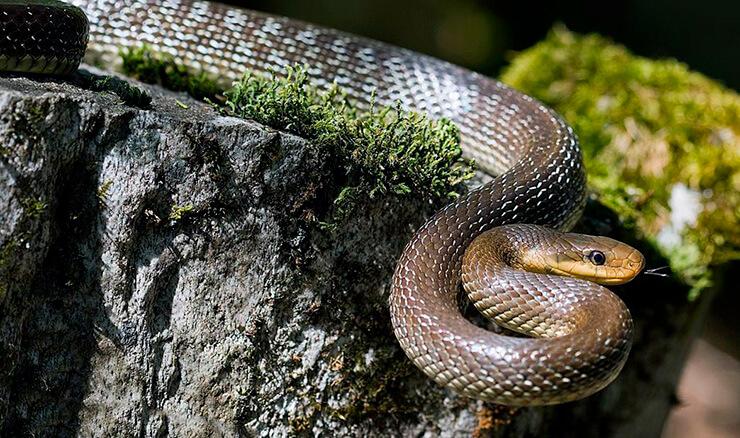 Картинка со змеёй эскулаповой