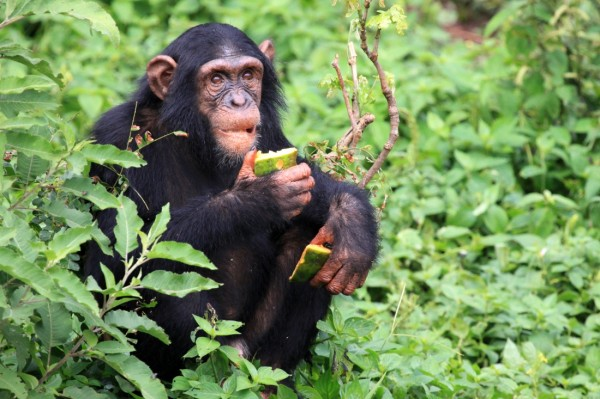 111 Кулинарные способности шимпанзе