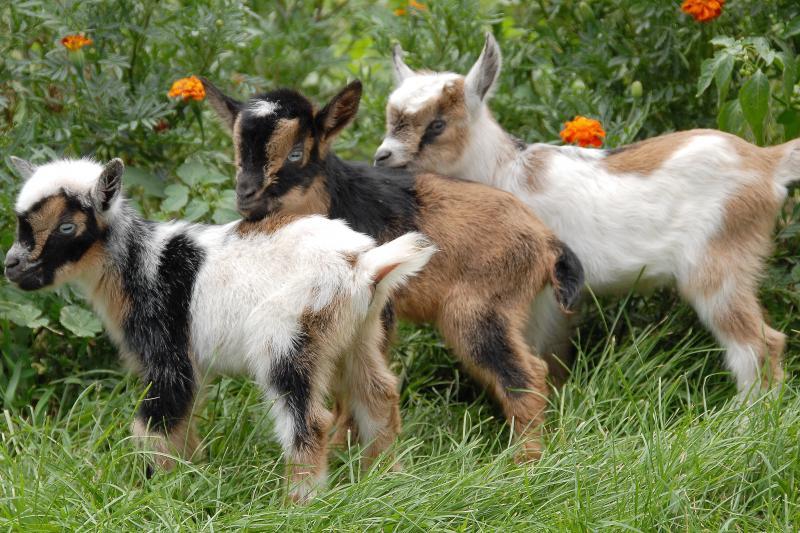 Нигерийская карликовая коза на лугу фото