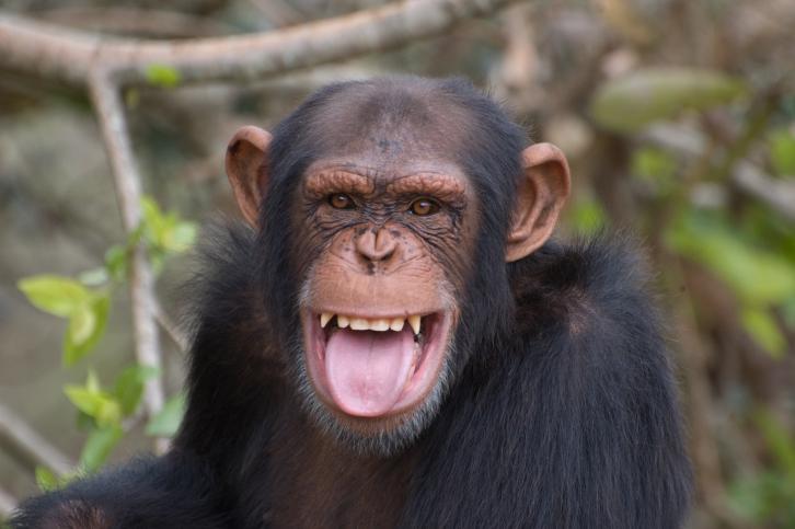 222 Кулинарные способности шимпанзе
