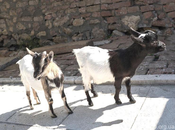 Фото Нигерийской карликовой козы