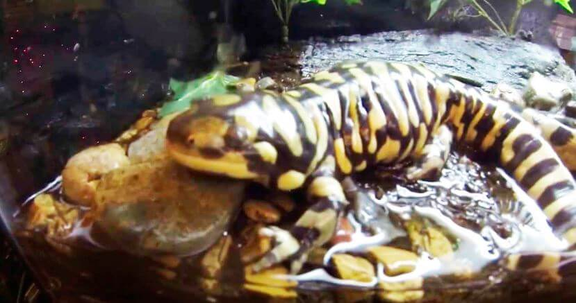 Амбистома тигровая фото