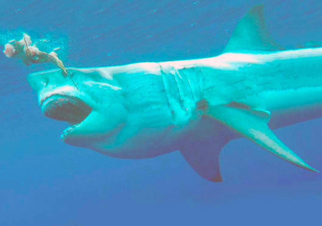 Картинка с большой белой акулой