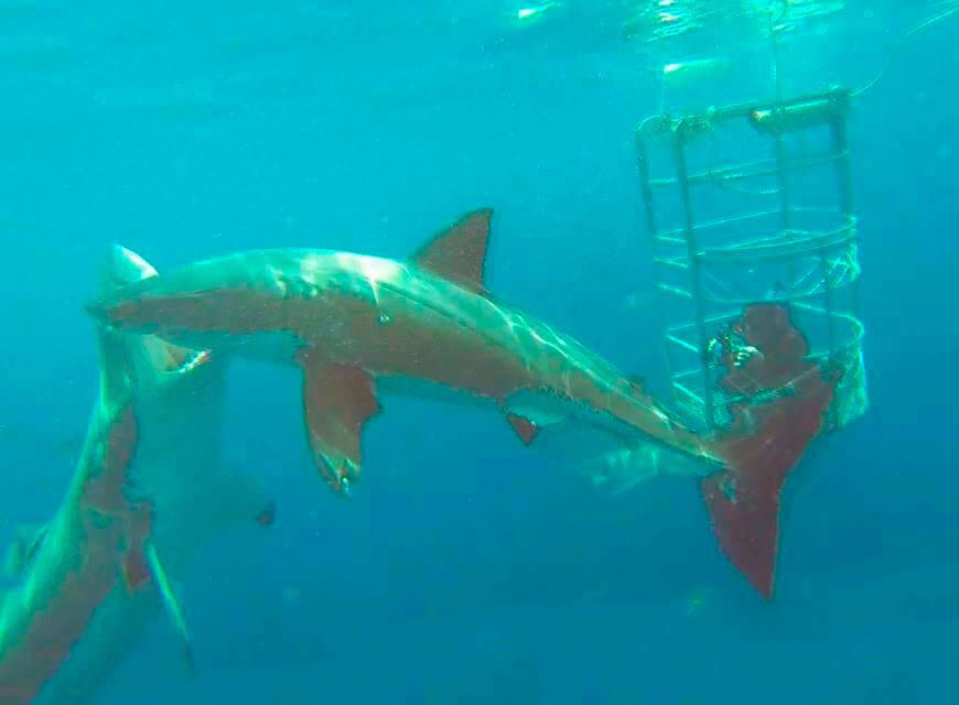 Фото сессия больших белых акул
