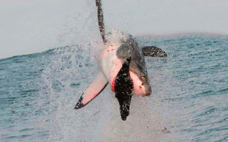 Добыча большой белой акулы