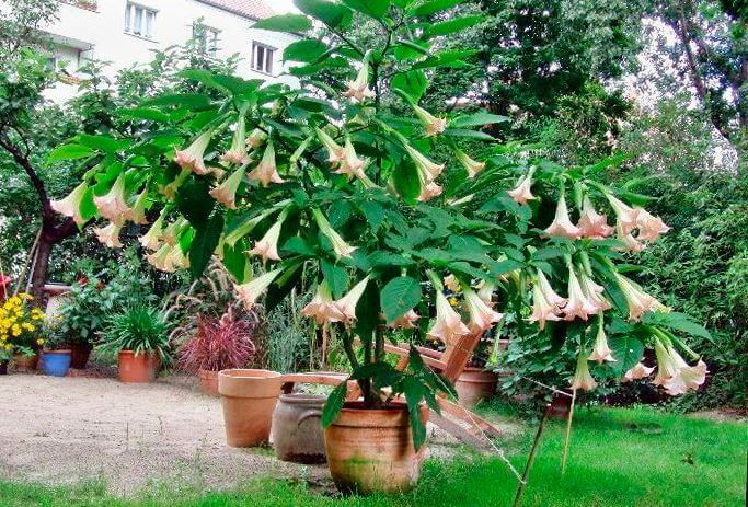 Бругмансия в саду