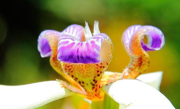 cvetok neomariki Неомарика
