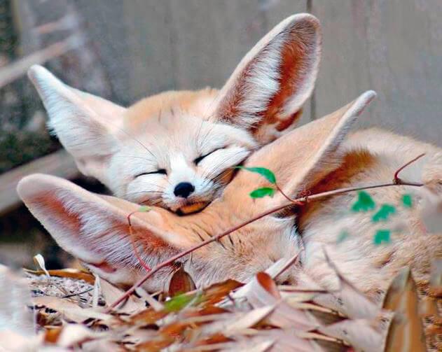 Спящее семейство фенеков
