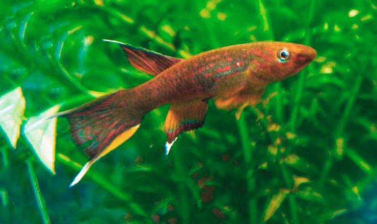 Афиосемион золотистый аквариумная рыбка