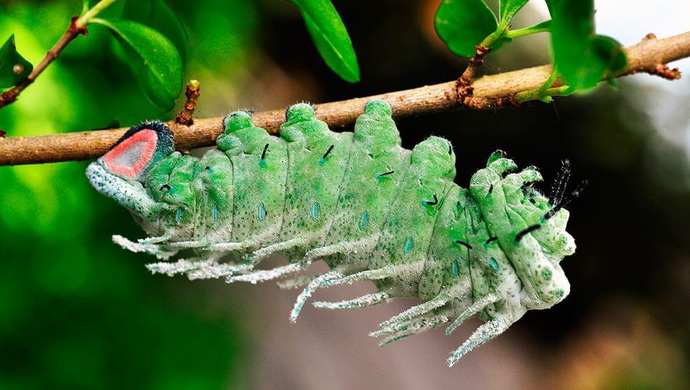 gusenica pavlinoglazki atlas Павлиноглазка атлас