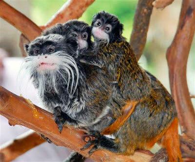 Самка императорского тамарина с детёнышем