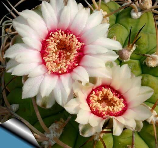 kaktus gimnokalicium s belymi cvetami Кактус гимнокалициум