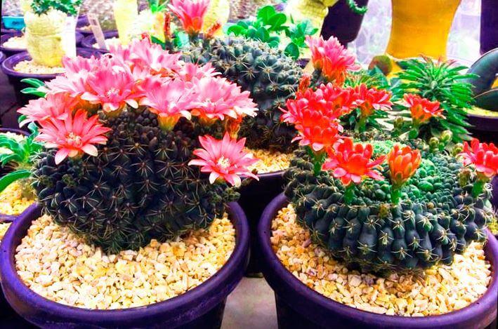 Фото кактуса гимнокалициума