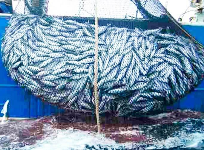 promyshlenyy lov anchous peruanskiy Анчоус перуанский