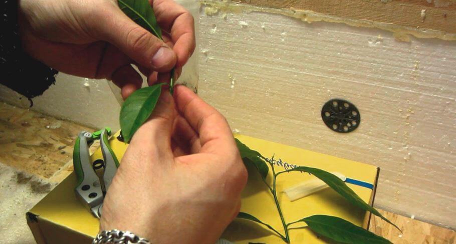 Размножение Citrofortunella microcarpa черенками