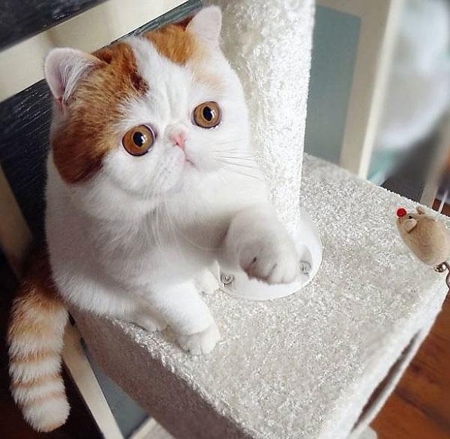 1210 Экзотическая короткошёрстная кошка