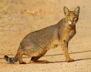 Чаузи редкая порода кошек фото